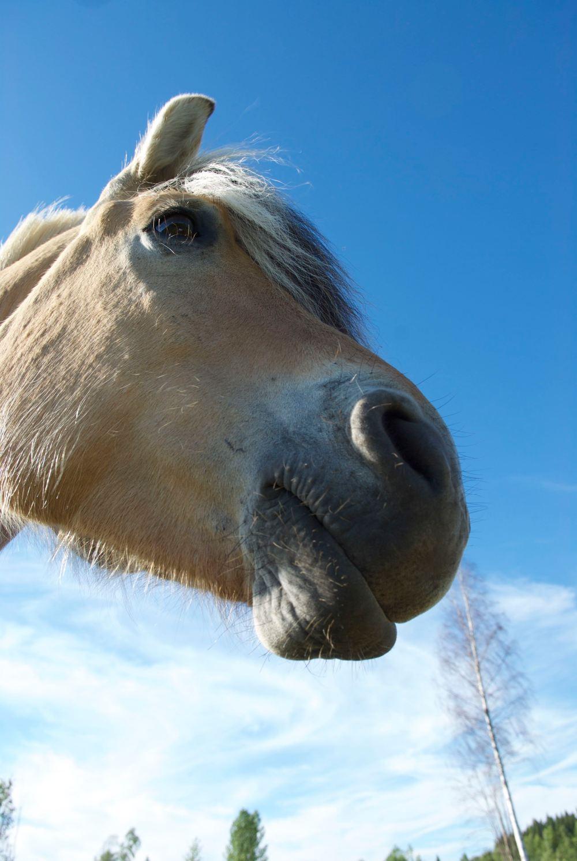 hesteportrett